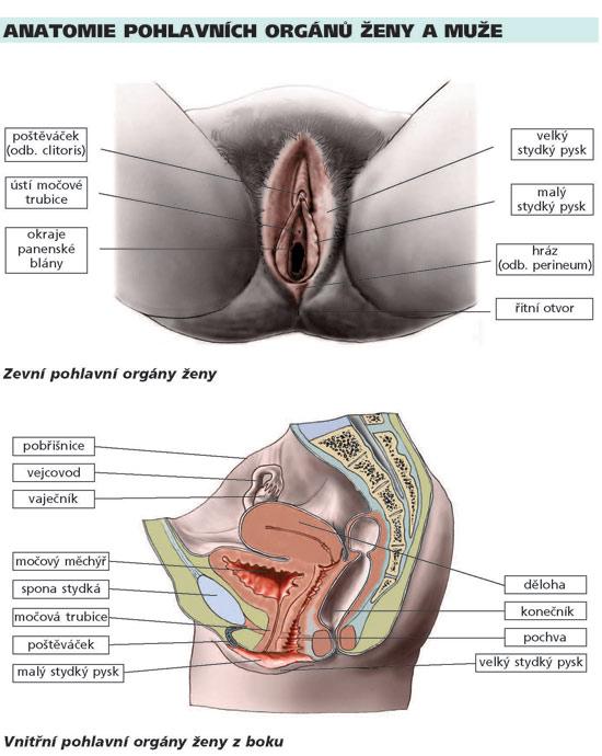 pohlavní orgány ženy