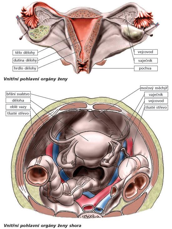 vnitřní pohlavní orgány ženy