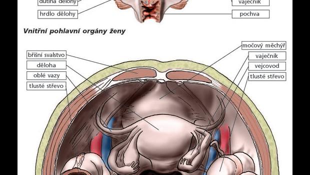 Pohlavní orgány ženy a muže - obrázek